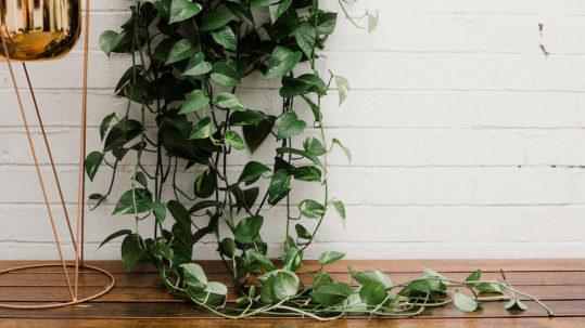 vine leaves green